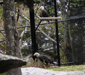 Griffin the bald eagle sits on a perch above Sitka, the newest addition to the Grandfather Mountain Animal Habitats.  Sitka arrived from the Alaska Raptor Center October 16 and is adapting to life in the eagle habitat with Griffin very well. Photo by Landis Taylor