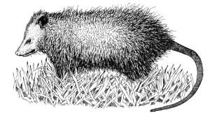 Image of opossum courtesy of N.C. Wildlife Resources Commission