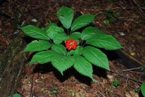 Mature American ginseng plant with berries. Photo by Gary Kauffman/U.S. Forest Service