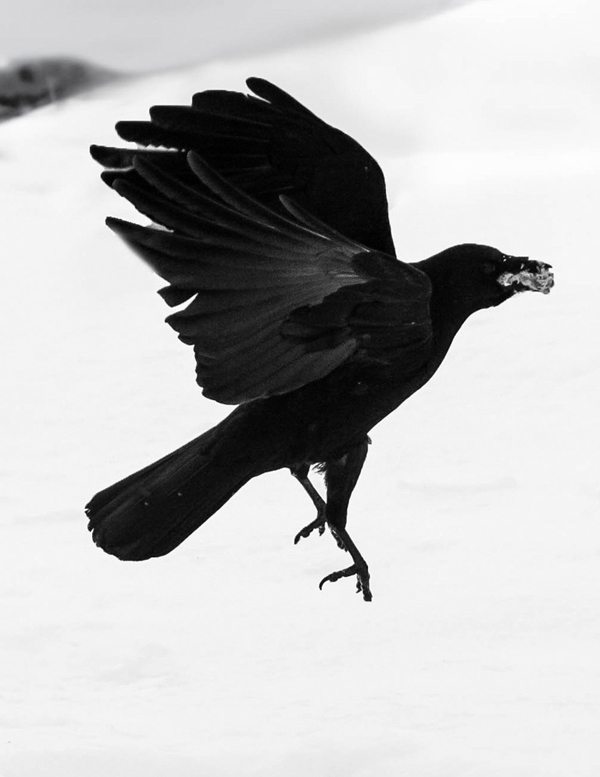 """Black Crow"" by Halle Keighton"