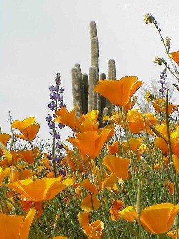 poppy&saguaro (1)