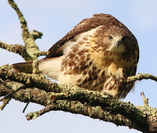 """Bo the Red-tailed Hawk"" by Rob Moore"
