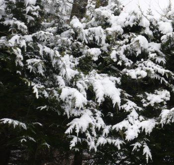 """""""Of Winter Blues and Cats."""" Snow Hemlock. Photo by Diane Blanks."""