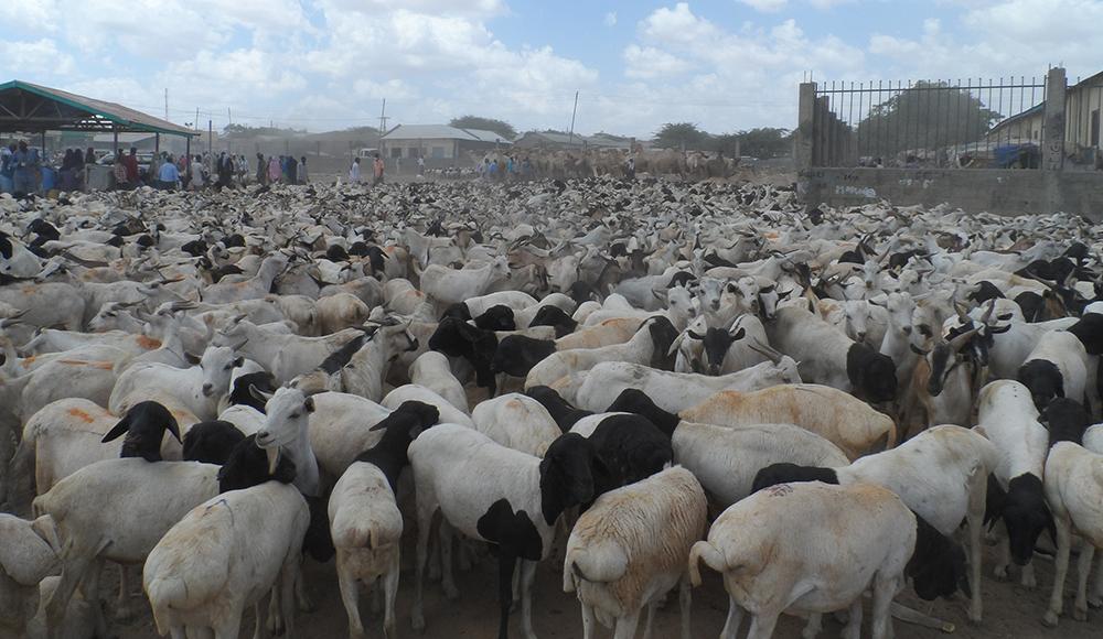 Warbaahinta Caalamka Oo Wax Ka Qortay Xoolaha Somaliland Oo Loo Dhoofinayo Imaaraadka Carabta