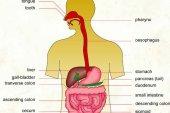 পরিপাকতন্ত্র (Digestive System)