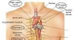 Vagus-nerve আপনার প্রয়োজনীয় পোস্ট লিংক। আপনার প্রয়োজনীয় পোস্ট লিংক। Vagus nerve 300x163