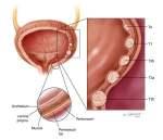 anatomy_bladdercancer আপনার প্রয়োজনীয় পোস্ট লিংক। আপনার প্রয়োজনীয় পোস্ট লিংক। anatomy bladdercancer 300x258