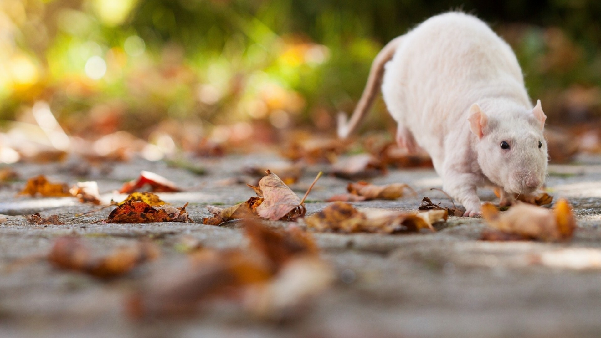 Mouse During Autumn Season Wallpaper HD Wallpapers