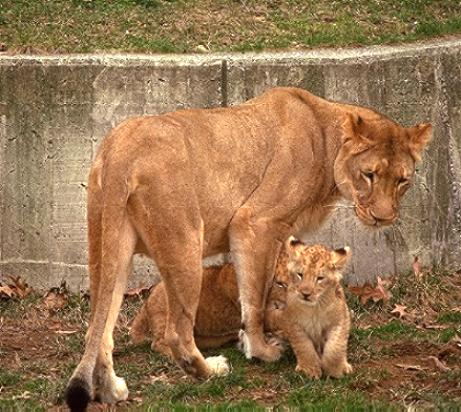 Barbary Lion And Lion Cubs The Barbary Lioness Beautiful Big Wild Cat Photograph Brought To