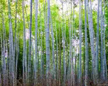 Arashiyama Bamboo Goove