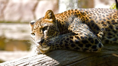 Leopard HQ Wallpapers | HD Wallpapers | ID #8617