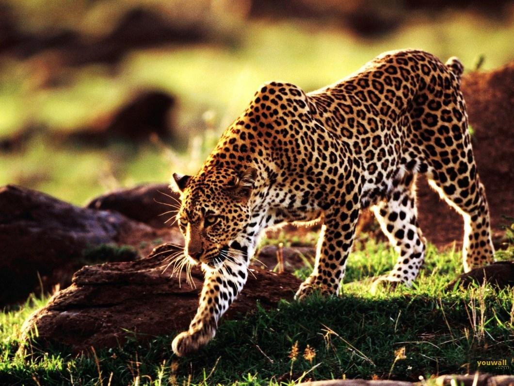 cheetah wallpapers | wallsjpg