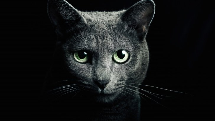 Russian Blue Cat Wallpaper   Animals HD Wallpapers   HDwallpapers net Russian Blue Cat Wallpaper