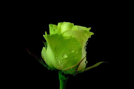 Green Rose Pictures   HD Wallpapers Pulse widescreen green rose picture