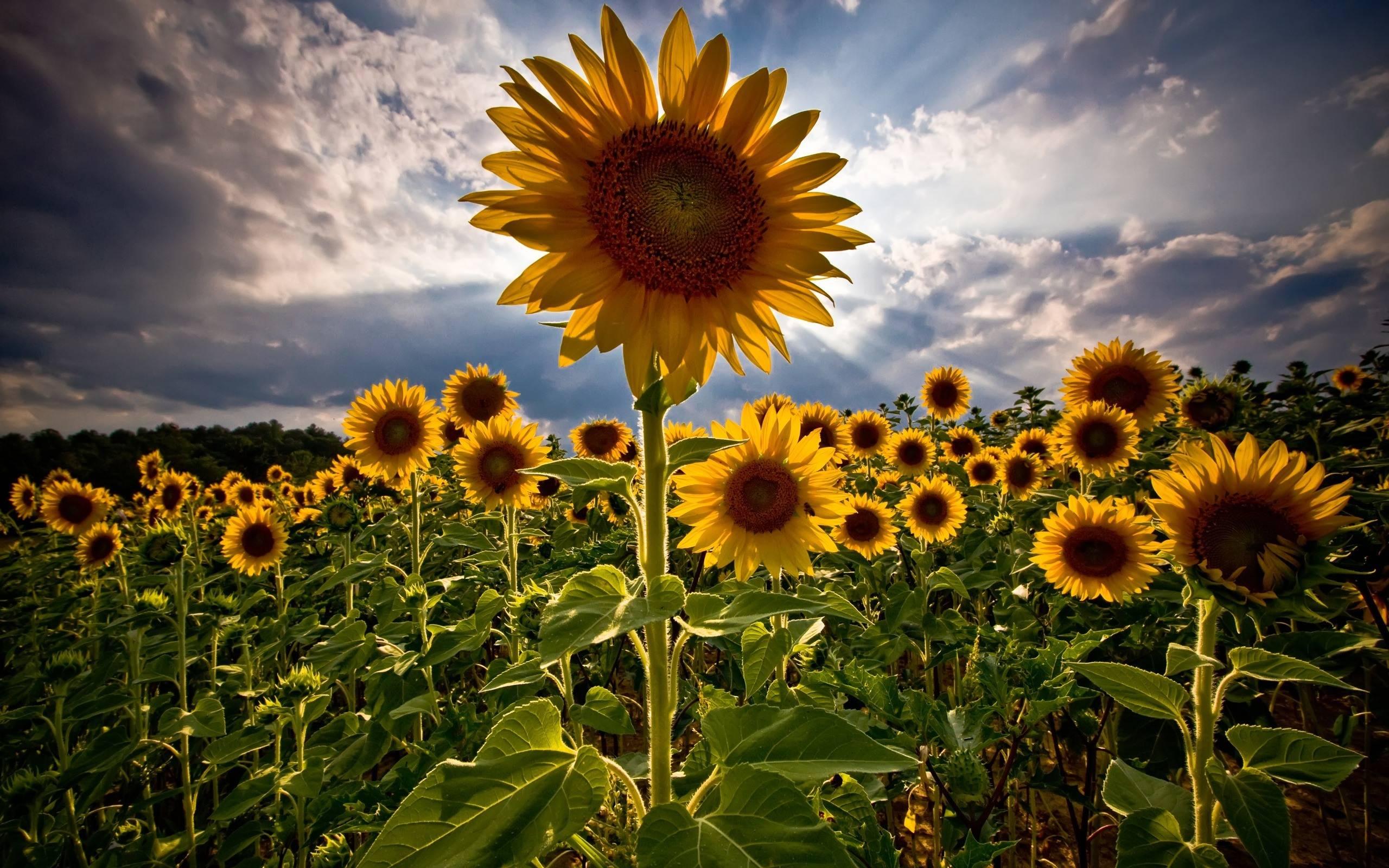 Sunflower Background Cool Hd Wallpaper For Desktop 24300