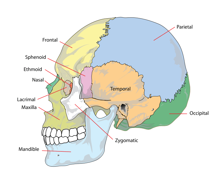 Simplified image of the human skull