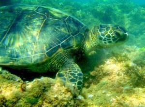 Honu Sea Turtles