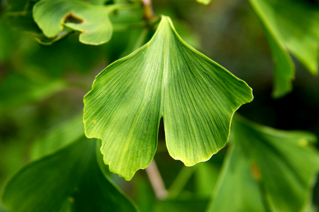 Melatonin, Serotonin, and Ginkgo Biloba | Natural Glaucoma Cure | Healing The Eye