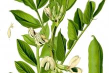 Plant-illustration-of-Soybean