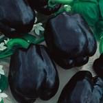 Merlot Purple Pepper