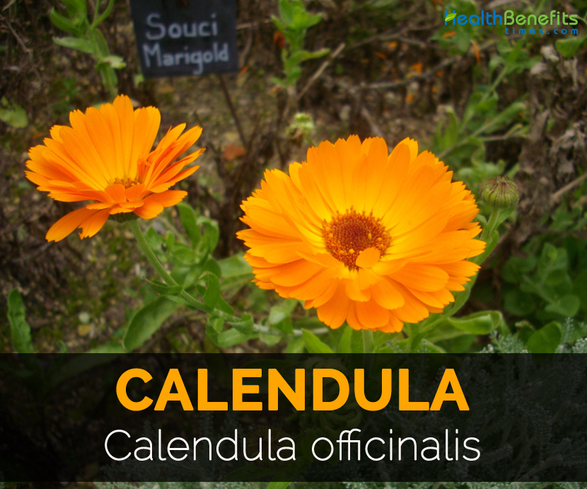 Calendula Facts And Health Benefits