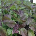 Red Holy Basil