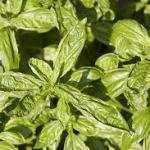 Sweet Broadleaf Basil