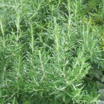 Common Rosemary