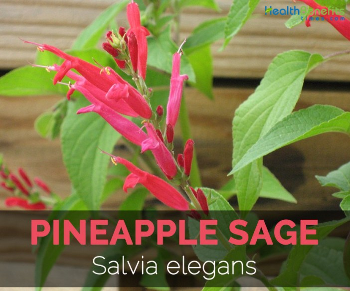 pineapple-sage-salvia-elegans