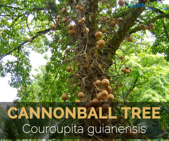 cannonball-tree-couroupita-guianensis