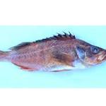 Harlequin Rockfish