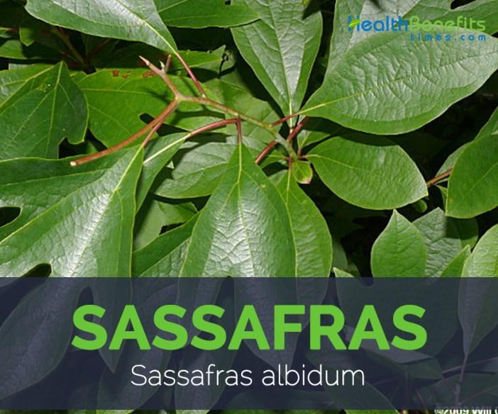 Sassafras facts and health benefits