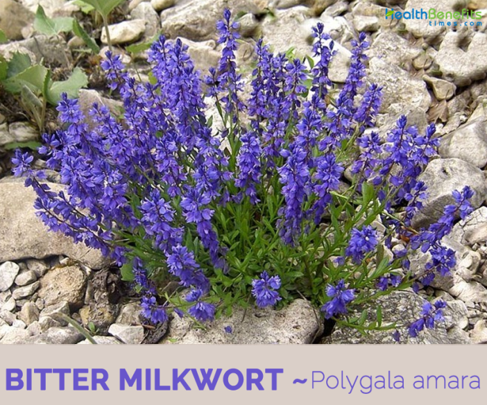 Facts and benefits of Bitter Milkwort