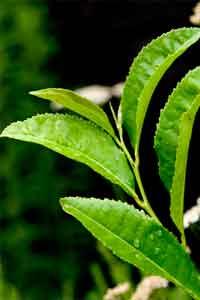 green_tea_200x300