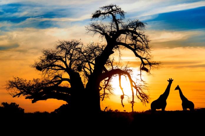 Spectacular african sunset baobab and giraffe at Entabeni game reserve