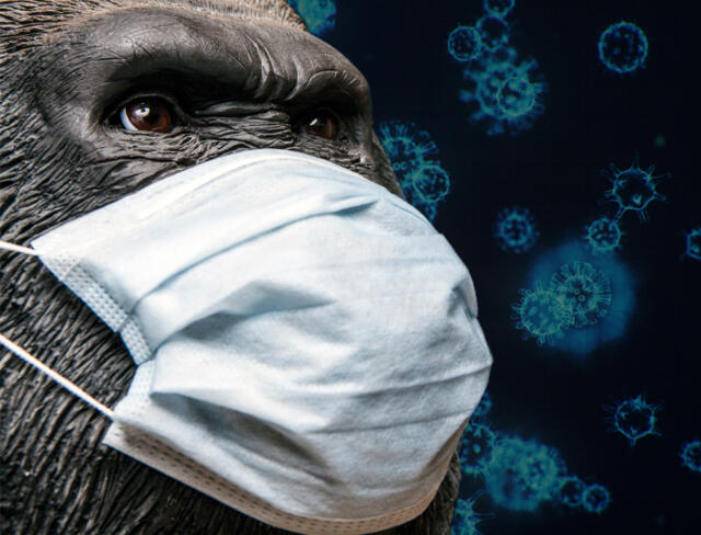 Ape wearing face mask stop germs