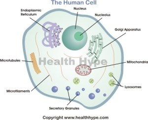 Human Cell Diagram, Parts, Pictures, Structure and
