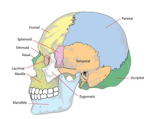 Partes de la calavera humana