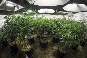 42095986 - indoor marijuana grow room with plants in soil under lights Copyright: <a href='https://www.123rf.com/profile_openrangestock'>openrangestock / 123RF Stock Photo</a>