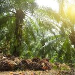 palm oil. A palm oil plantation. Image credit: Mohd Hairul Fiza Musa / 123rf