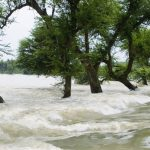 Trees in water of Kosi river flood of Bihar 2008 in Purniya district,Bihar,India