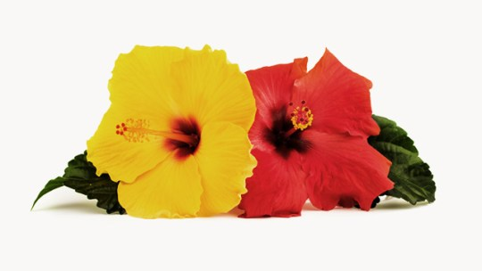 All You Need to Know About Hibiscus hibiscus
