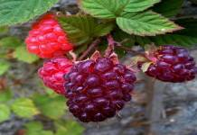 Benefits of Loganberry