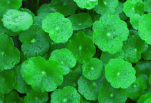 Got kola, benefits of Centella asiatica, Indian pennywort benefits