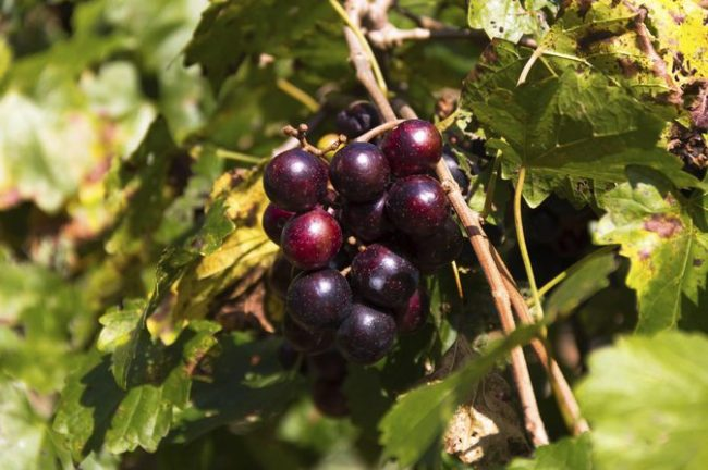 benefits of Muscadine Grapes