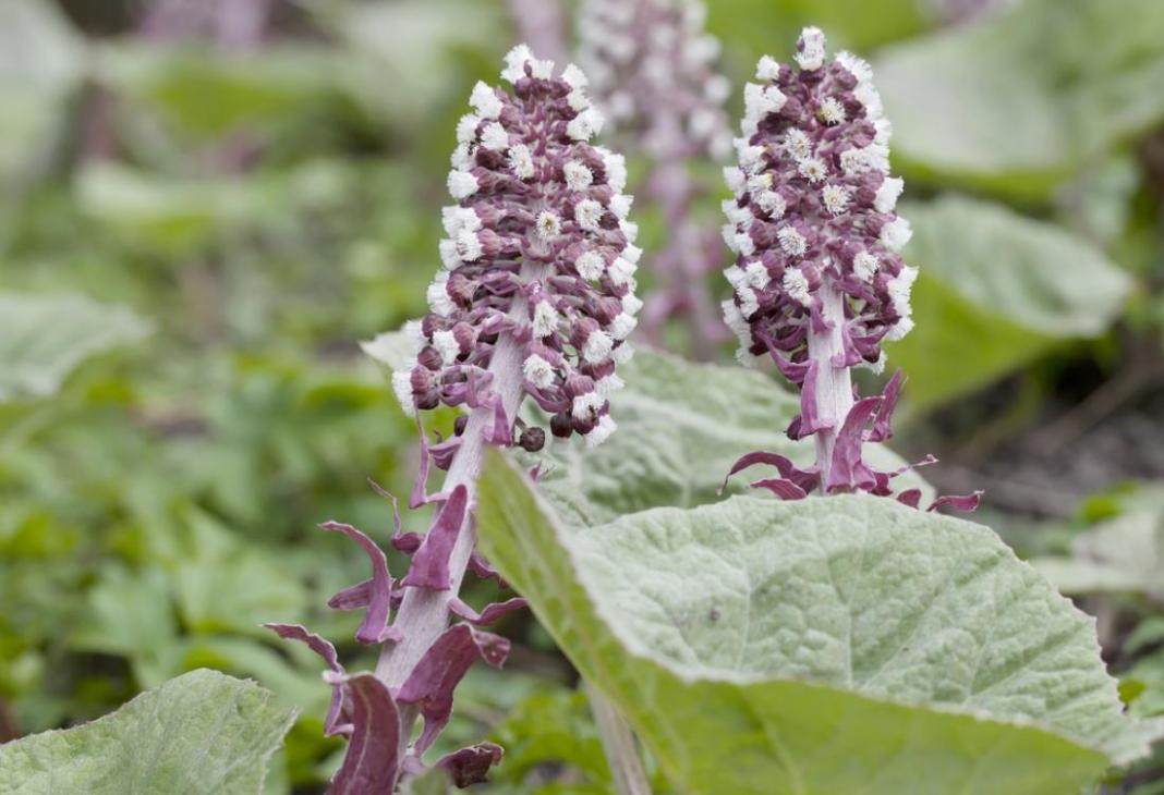 benefits of butterbur