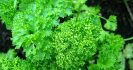 parsley health benefits of Parsley