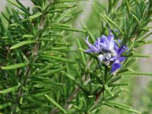 rosemary, benefits of rosemary