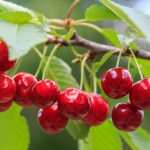 Red cherries on branches