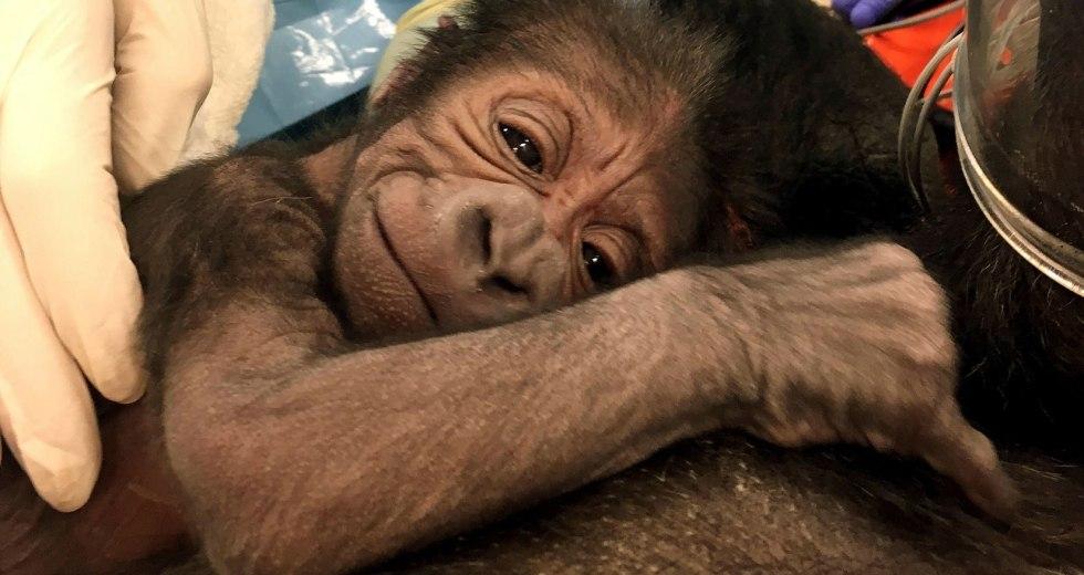 Special Gorilla Birth at the Philadelphia Zoo